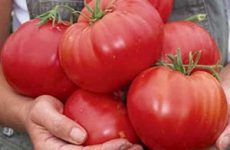 Какие семена томатов выбрать в 2017 году