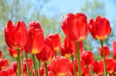 История появления тюльпанов в России