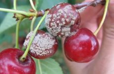Болезни вишни и борьба с ними