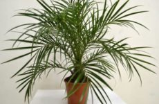 Финик Робелена – пальма для дома