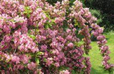 Кустарниковое растение вейгела: размножение черенками, семенами и побегами